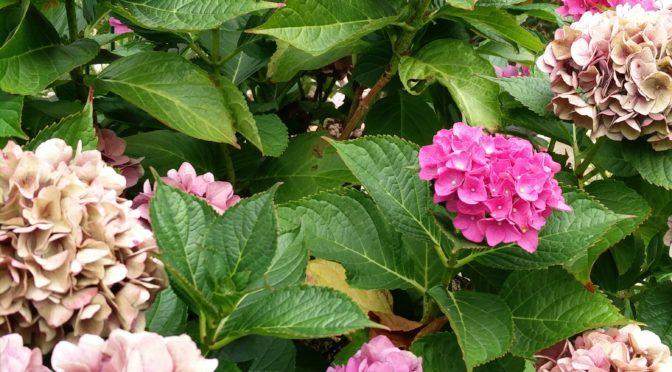 Hortensien überwintern