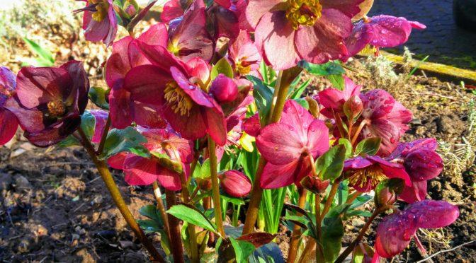 Lenzrosen – Helleborus Arten