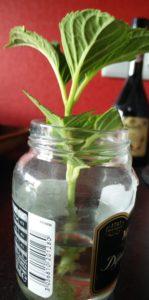 Hortensiensteckling